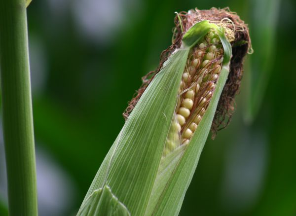 Fieldfacts corn image