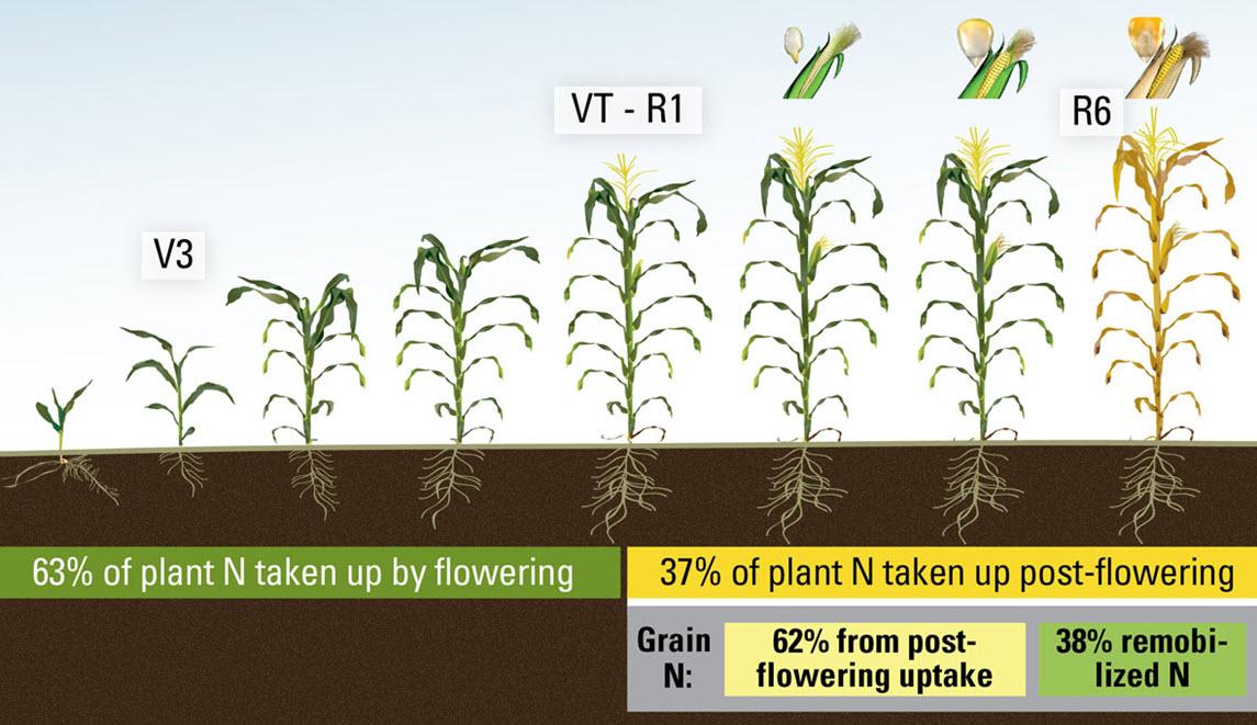 Nitrogen Uptake in Corn