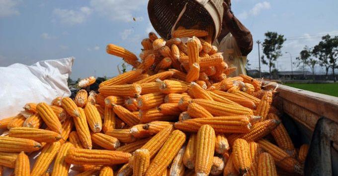 Cerita Sukses Petani Berdasi Kembangkan Bisnis Jagung Pakan Hingga Jadi Konsultan