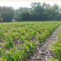 Corn Stress emergence