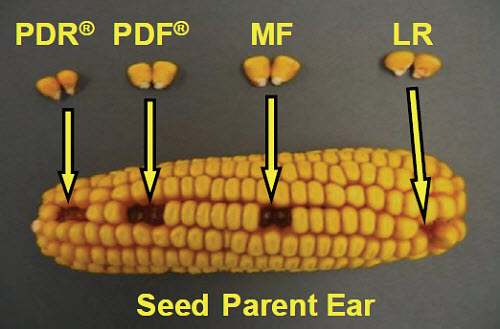 Seed Parent Ear