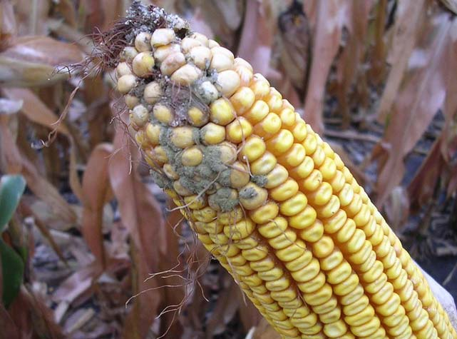 Corn ear damaged from aspergillus ear rot
