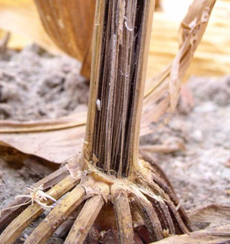 Corn plants with openings caused by insects or environmental damage are more susceptible to fungal infection.