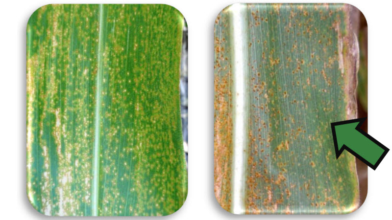 Eyespot infection and southern corn rust infection