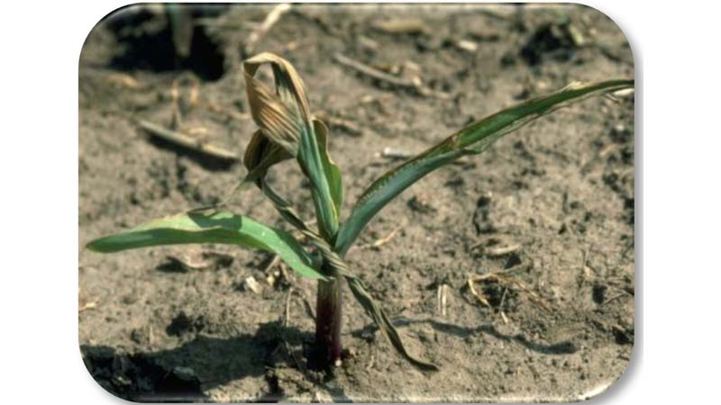 Corn plant with 'dead heart' killed by hop vine borer.