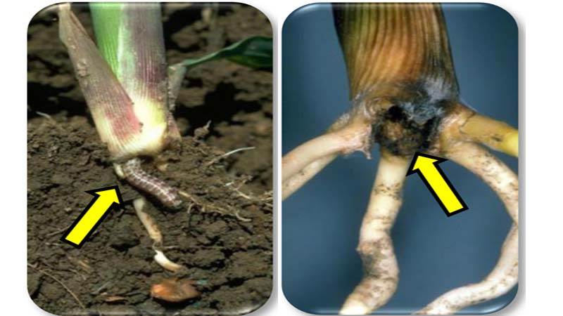 Hop vine borer larvae tunneling at bottom of corn stalk (left photo). Hop vine borer injury below-ground portions on stalk (right photo).