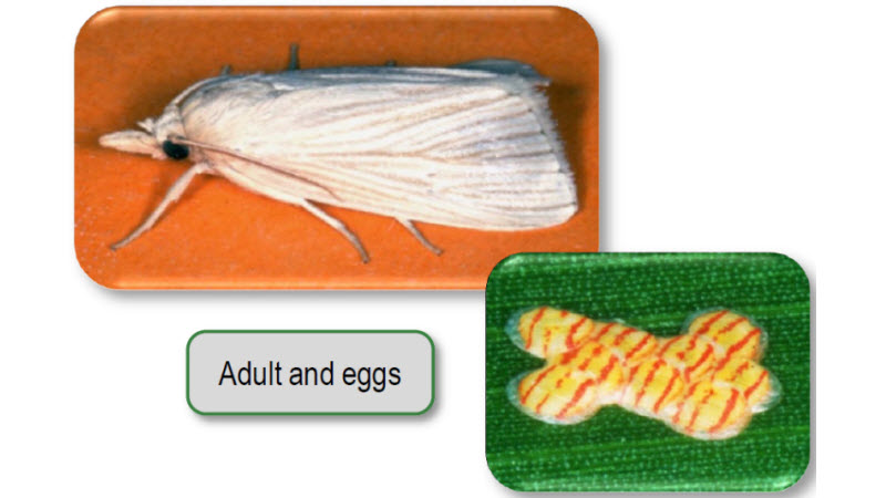 Southwestern corn borer adult and eggs.