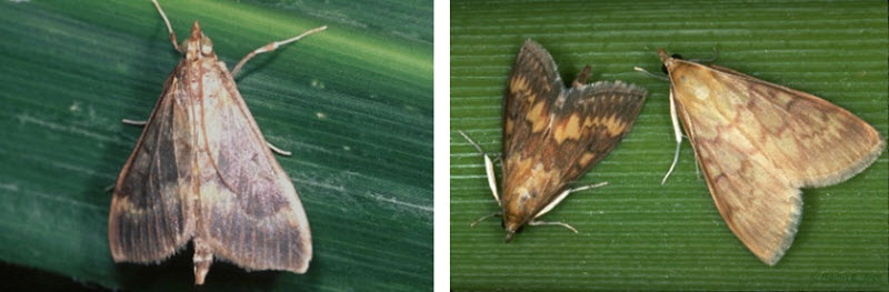 European corn borer moths