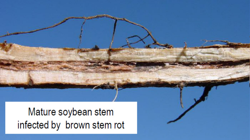 Mature soybean stem infected by brown stem rot.