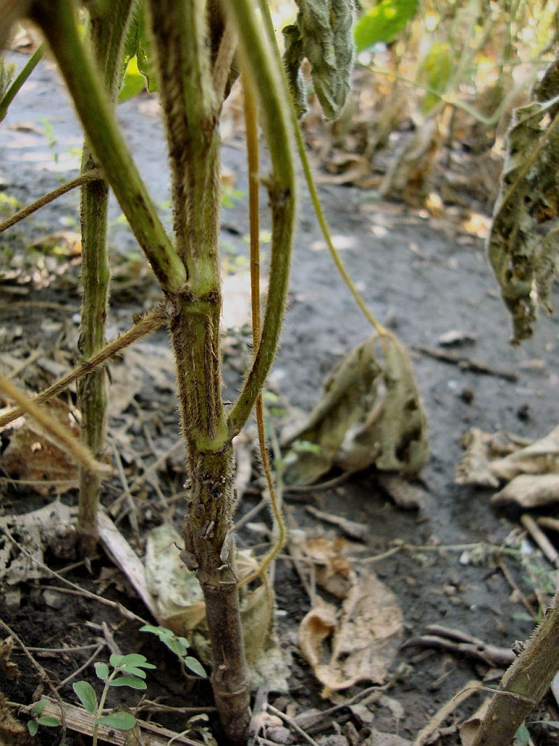 phytophthora root rot on soybean stem