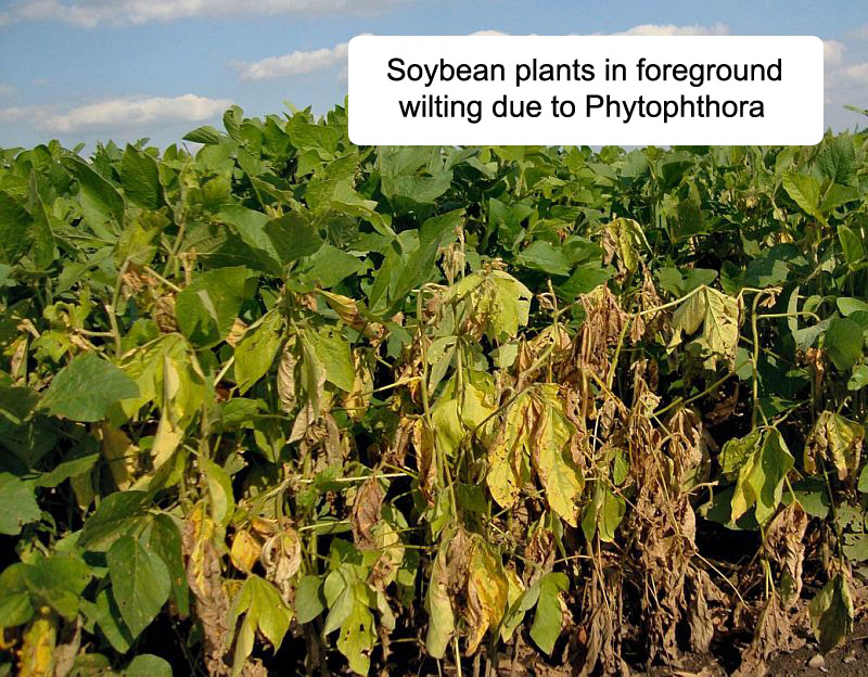 soybeans wilting due to phytophthora root rot