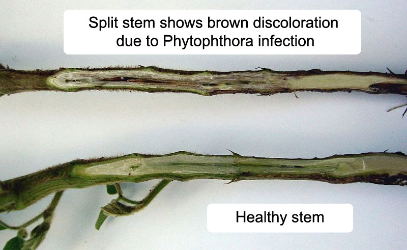healthy soybean stem vs. stem infected with phytophthora
