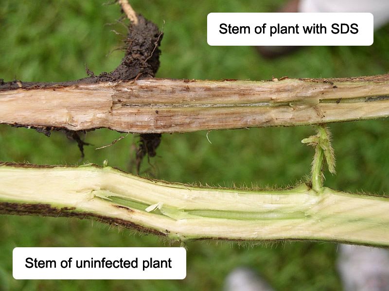 Stem of plant with sudden death syndrome.