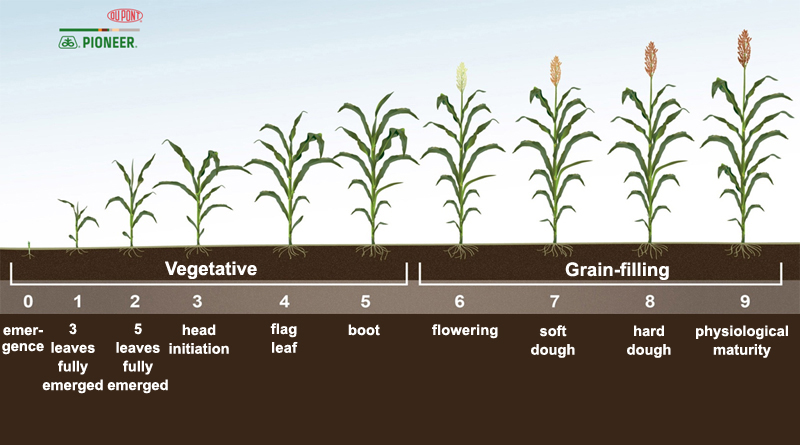 Grain Sorghum Growth Stages