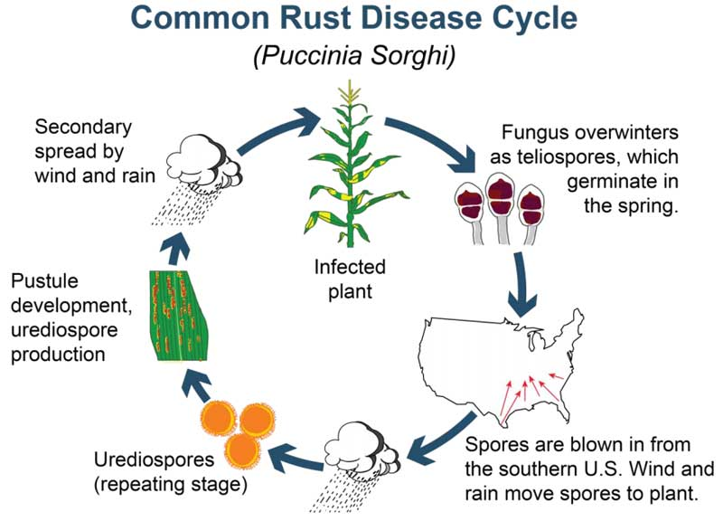 Common rust disease cycle in corn.