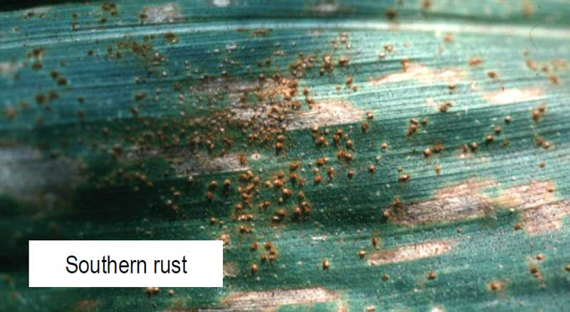 Southern Rust in Corn
