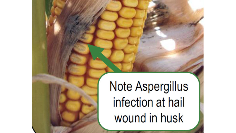 Aspergillus infection at hail wound in corn husk