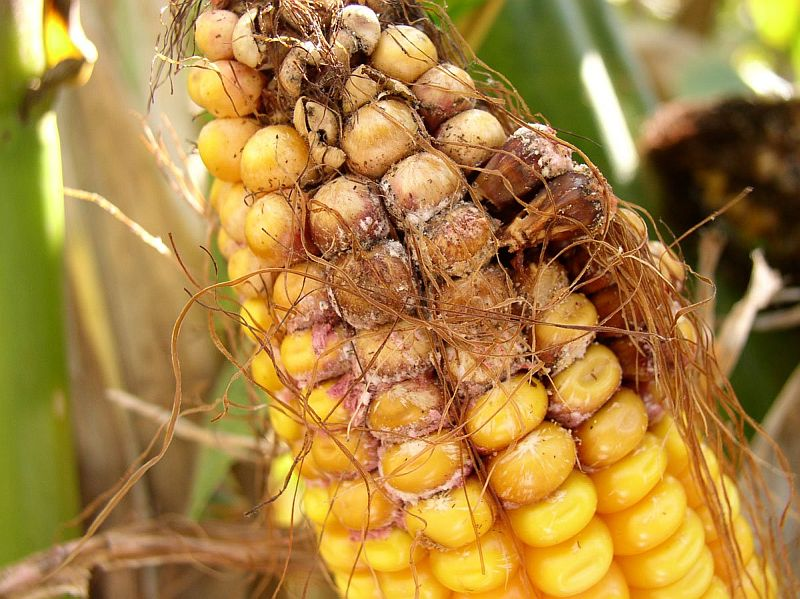 Damaged corn kernels caused by gibberella ear rot.