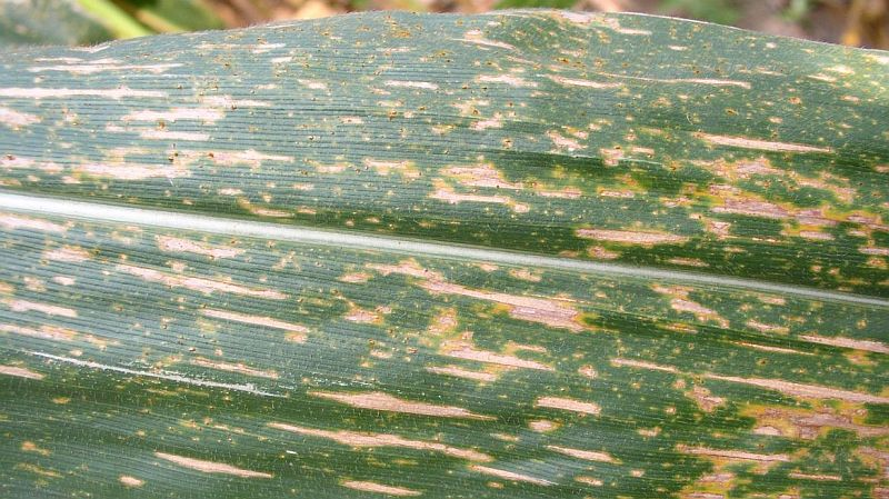 Southern leaf blight lesions on corn