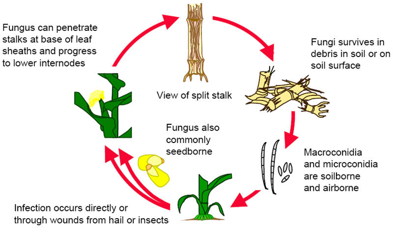 Fusarium Stalk Rot Disease Cycle