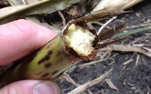 Physoderma stalk rot corn stalk breakage at lower node.