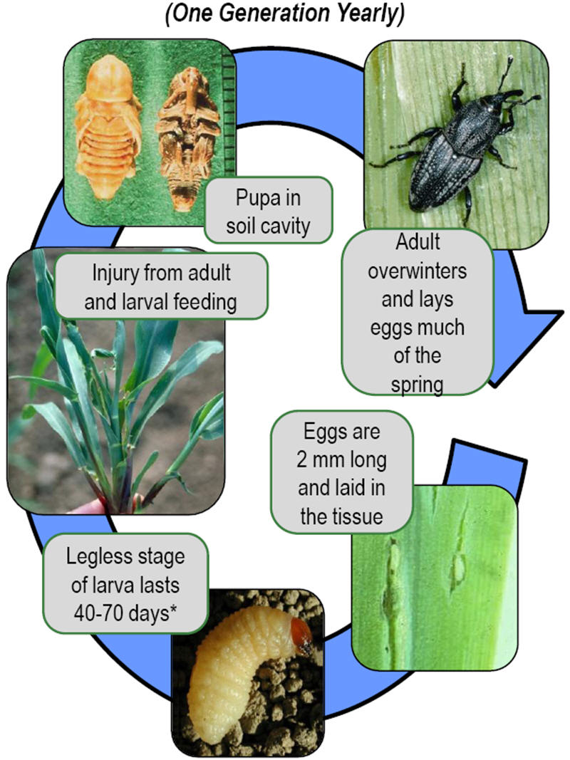 Corn billbug annual life cycle