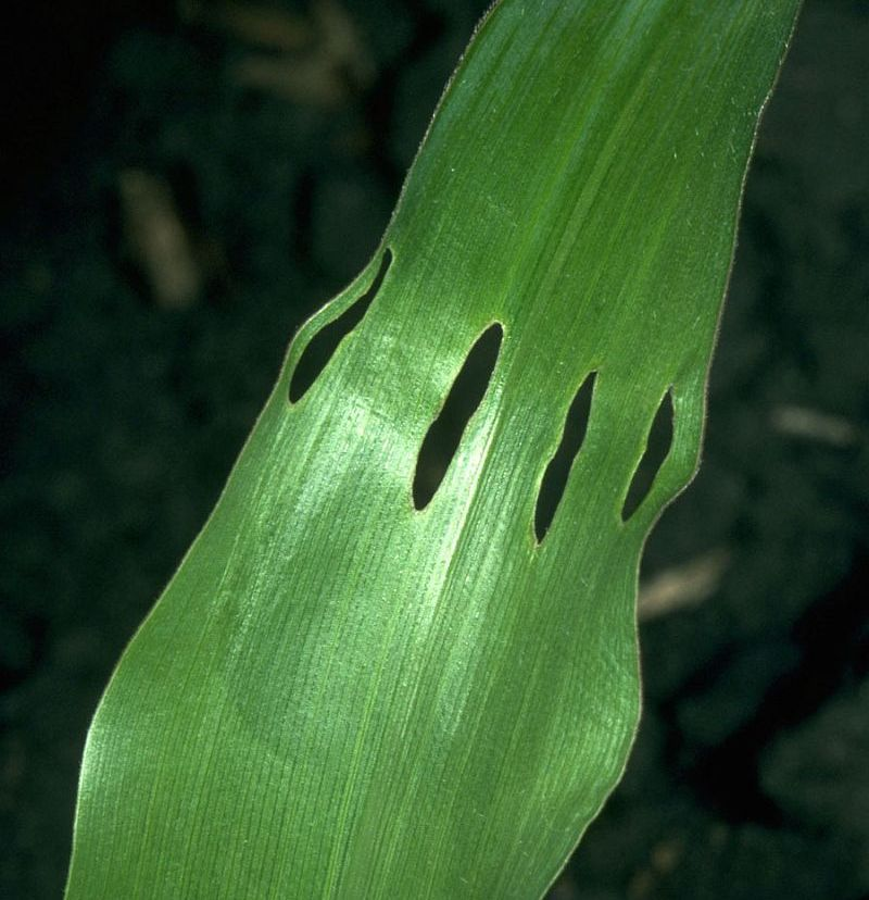 Holes in corn leaf caused by corn billbug