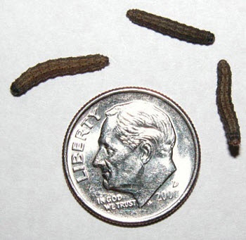 Fourth Stage Black Cutworm