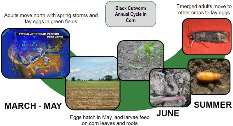 annual life cycle of black cutworm