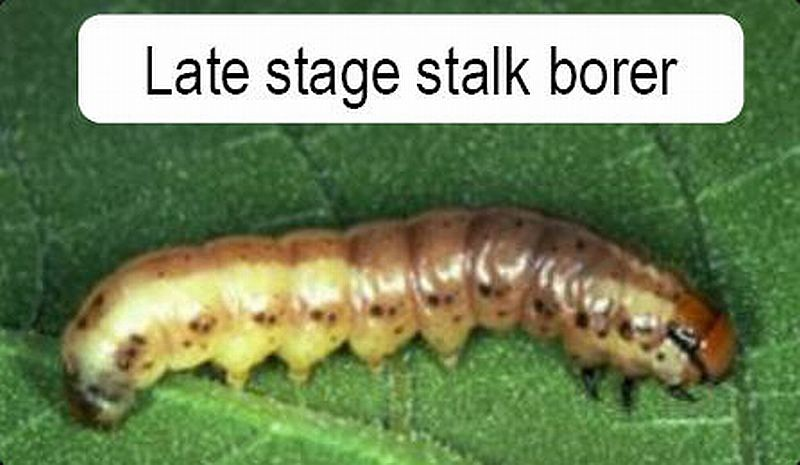 Late stage stalk borer