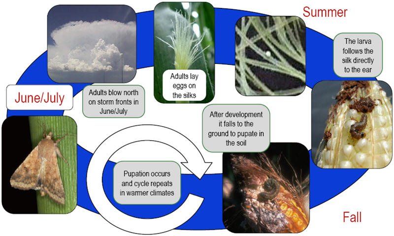 Annual life cycle for corn earworm.