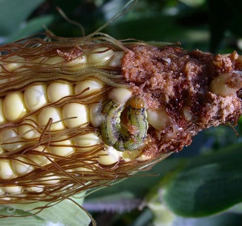 corn tip with corn earworm damage
