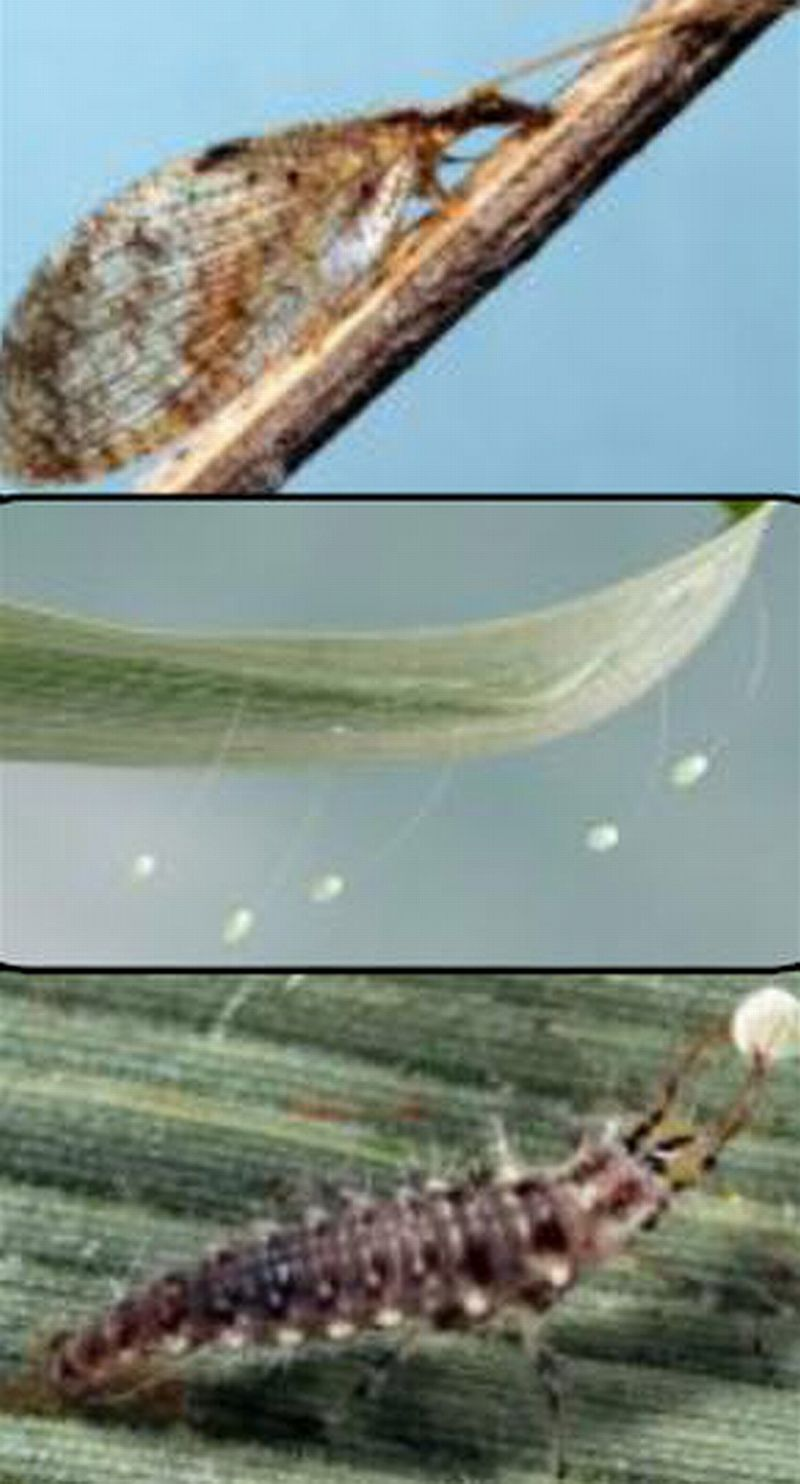 Green and brown lacewing adults, larva