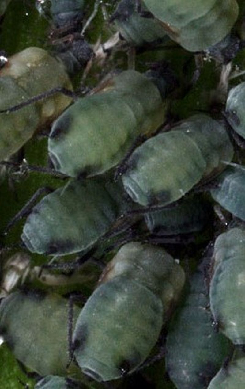 Corn leaf aphids are a blue-green color, trimmed in black, with short black antennae and black legs.
