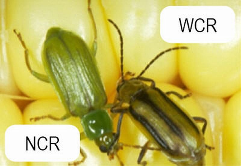 Western Corn Rootworm and Northern Corn Rootworm