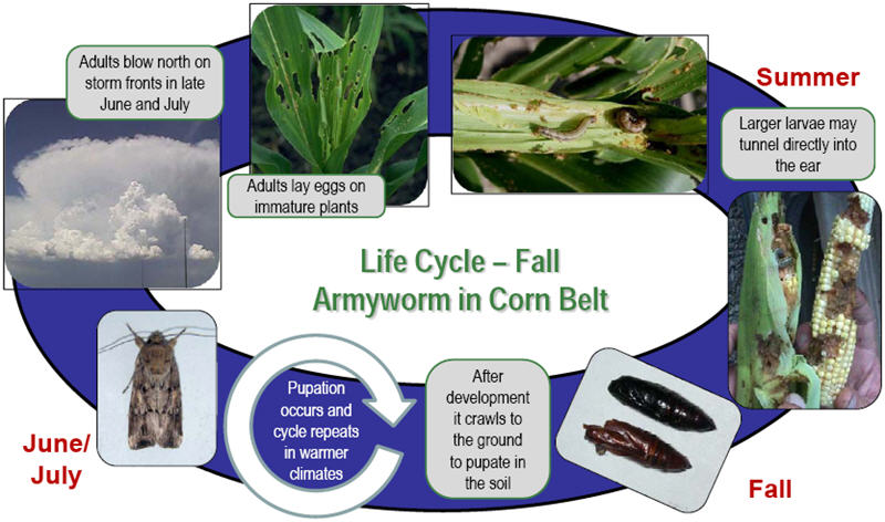 Fall Armyworm Life Cycle