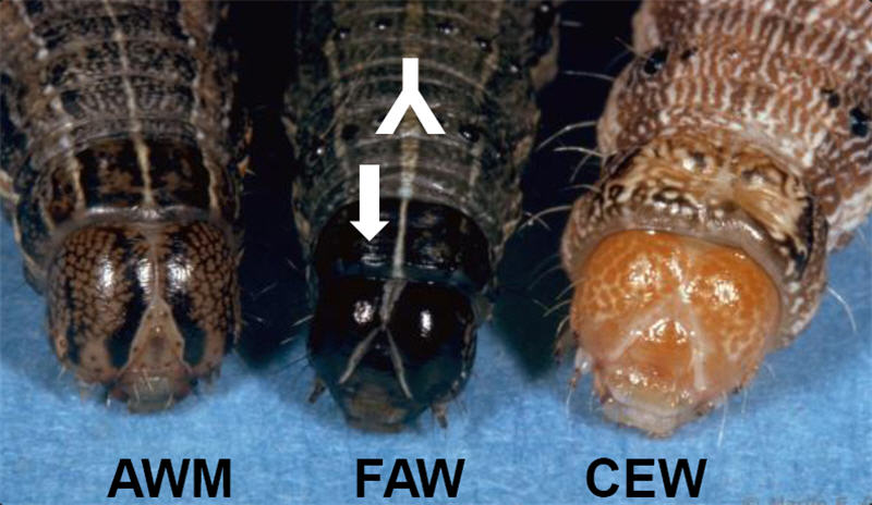 armyworm and earworm