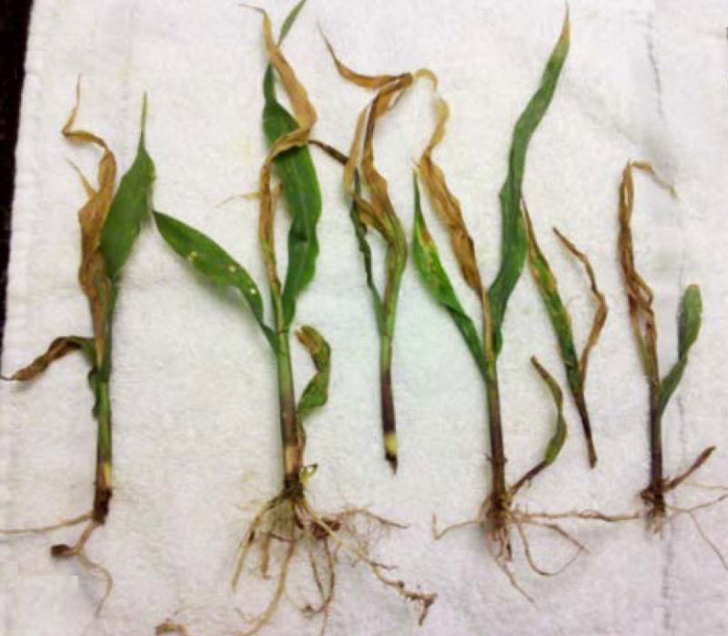 Corn seedlings injured by sugarcane beetles