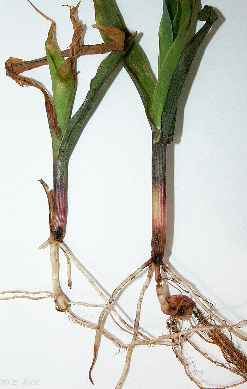 Corn plants damaged from wireworm feeding.