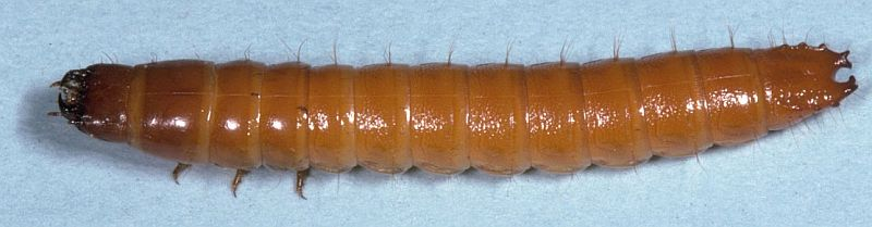 Wireworm larva