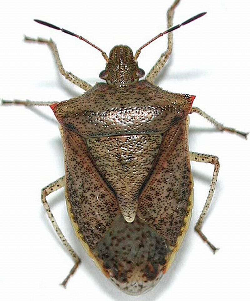 Adult stinkbug
