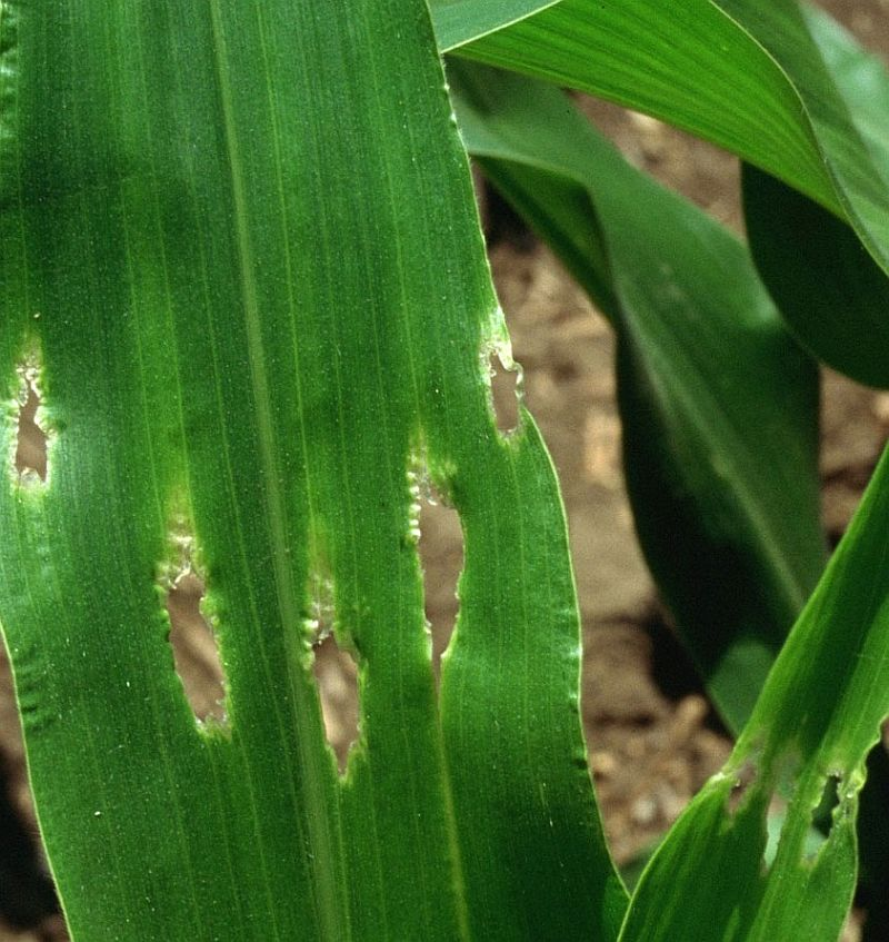 Corn leaf damage from stinkbugs.