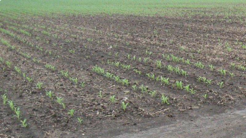 Replanted corn field.