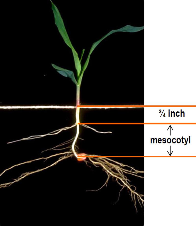Corn Diagram Of A Sapling - DIY Enthusiasts Wiring Diagrams •