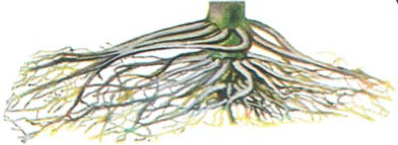 Drawing: root system showing symptoms of chemical damage.