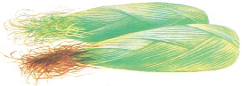 Drawing: corn ear showing green silks at maturity.