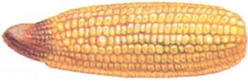 Drawing: corn ear showing nitrogen deficiency symptoms.