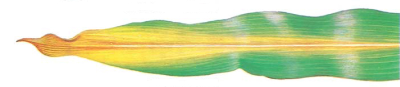 Drawing: corn leaf showing nitrogen hunger symptoms.