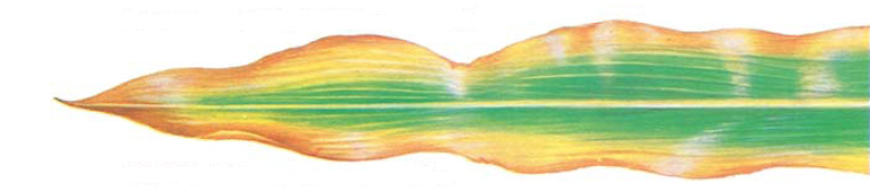 Drawing: corn leaf showing potash deficiency symptoms