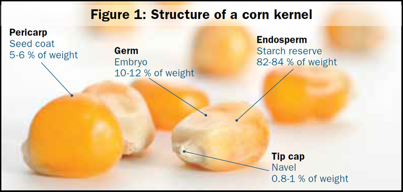 Structure of a corn kernel